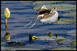 Title: Pheasant-tailed Jacana- Take off