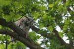 Title: Great Horned owl?
