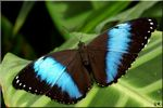 Title: Blue Morpho for Sabine