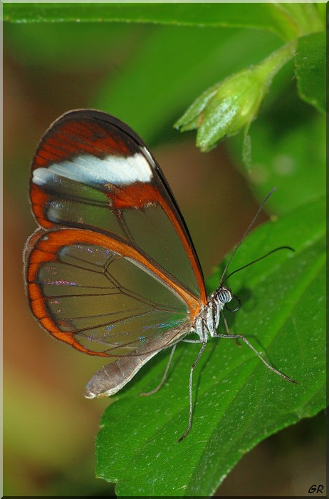 Glass Wing-2