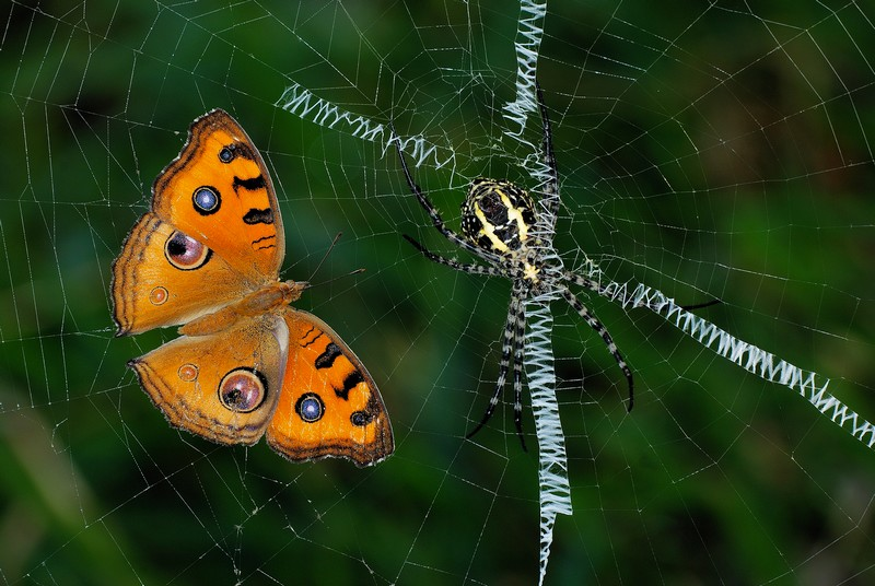 Grand Argiope with Peacock Pansy