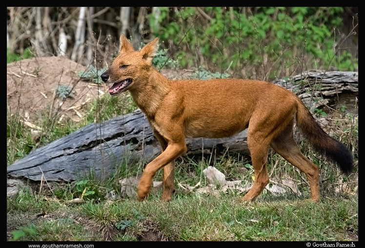 Asiatic Wild Dog