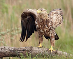 Title: White-tailed Eagle