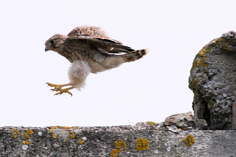 young Kestrel jump