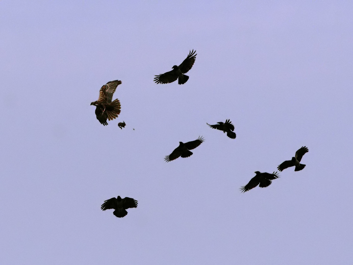 Crows attack on Harrier