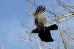 Title: Carrion Crow