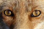 Title: Fox's Eyes