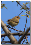 Title: ChiffchaffCanon EOS 30d
