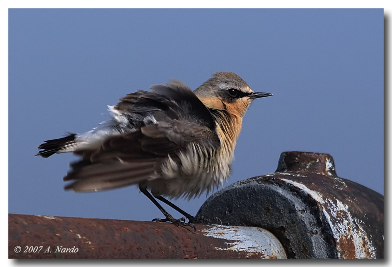 Northern Wheatear for Treknature Friends