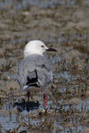 Title: Slender-billed Gull