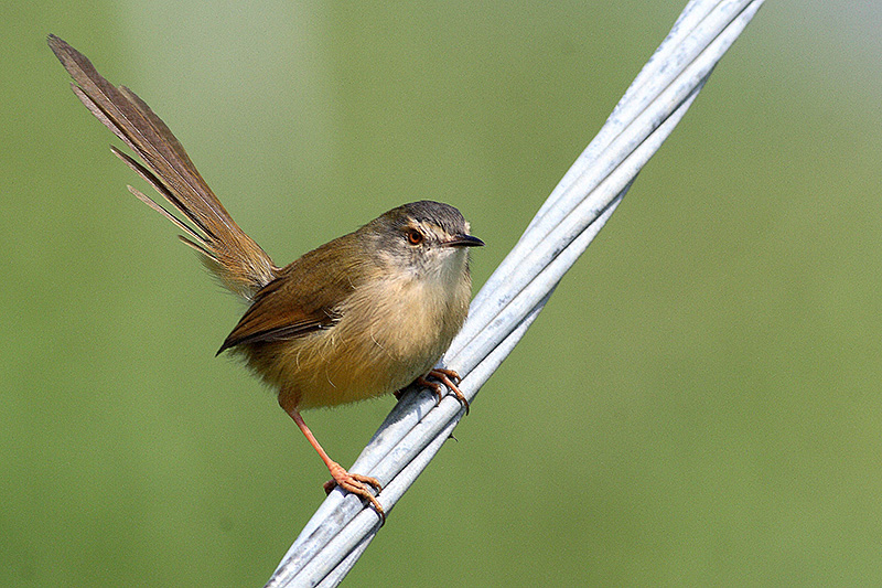 Yellow Bellied Prinia