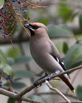 Title: Waxwing Camera: Canon EOS 30d