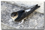 Title: House Martin