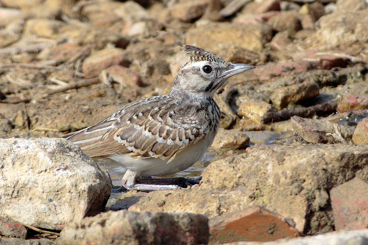 Young Crested Lark