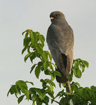 Title: Red-footed FalconCanon EOS 300D
