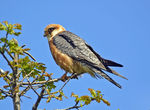 Title: Red-footed Falcon