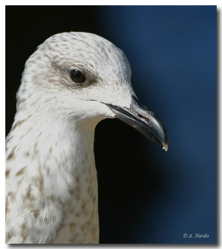 Young Gull, portrait