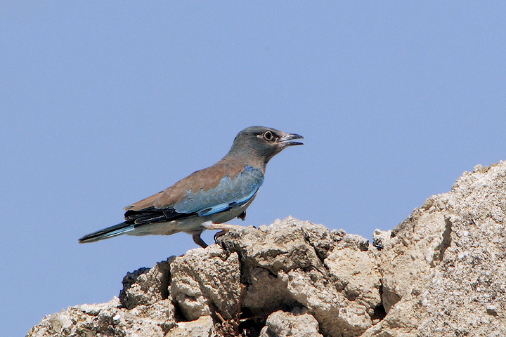 Young Roller