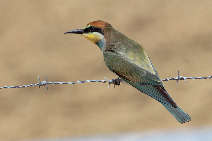 Young Bee-eater