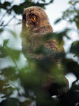 Title: Young Long Eared Owl