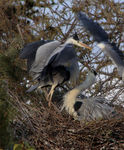 Title: Grey Heron at nest