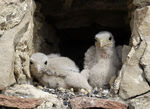 Title: two young Kestrels