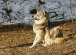 Title: Wolf in relax