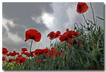 Title: Poppies and Sky
