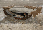 Title: Red-rumped Swallow
