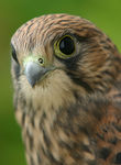 Title: Young Kestrel
