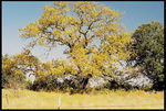 Title: Yellow Tree