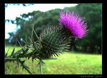 Title: Spear Thistle