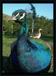 Title: Friendly Peacock
