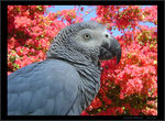 Title: African Grey Parrot