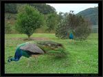 Title: Two Peacocks