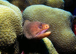 Title: Goldentail Moray
