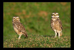 Title: Two Burrowing Owls