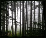 Title: forest & fog