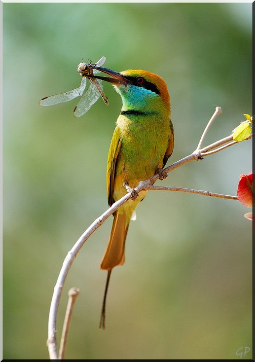 Bee eater with dragon