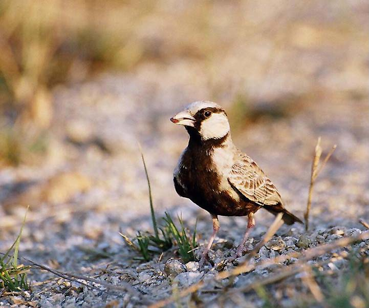 A cute lark with feed