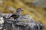 Title: Spotted Nutcracker