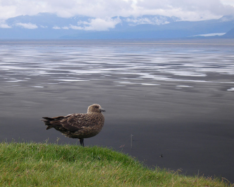 More of the Great Skua