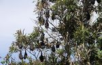 Title: Flying Foxes
