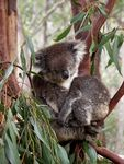 Title: Mother & Baby Koala