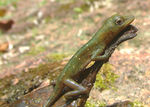 Title: Green amazone Anole