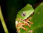 Title: Tiger legged monkey frog