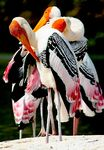 Title: Painted Storks