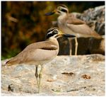 Title: Great Stone Plovers
