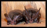 Title: Long Eared Bat