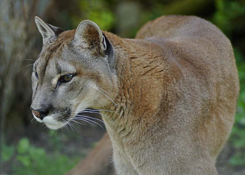 Puma (Mountain Lion)  (zoo/conservation)